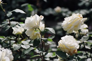 Rosen am Feiertag